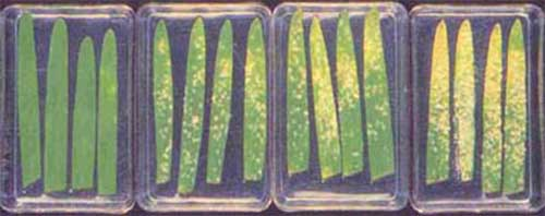 Figure 2: Barley leaves sprayed with yeast-derived resistance elicitor before inoculation with mildew