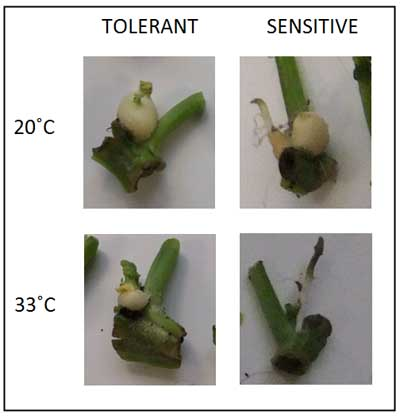 Figure 2: Effect of heat stress on tuberisation potential