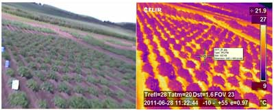 Figure 3: Canopy temperature variation in potato genotypes measured through a high throughput rapid remote sensing method.