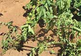 Photograph of plants showing symptoms of bacterial wilt