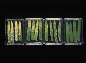 Yeast-derived elicitor treatments controlling mildew on barley