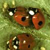 Photograph of 2-spot ladybirds eating aphids
