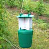 Photograph of raspberry beetle trap