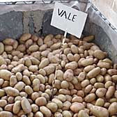 Vales Sovereign potatoes sent to Kenya