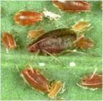 Photograph of peach-potato aphids