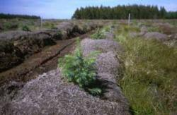 Recent forest planting on peat deposit