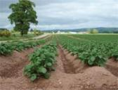 Image showing a field of potatoes