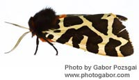 Garden Tiger Moth photographed by Gabor Pozsgai