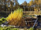 Willow Constructed Wetland showing biomass growth at different stages of Coppicing