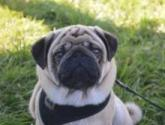 Hector the pug!