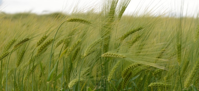 Discover the latest research on arable crops at Cereals in Practice 2016