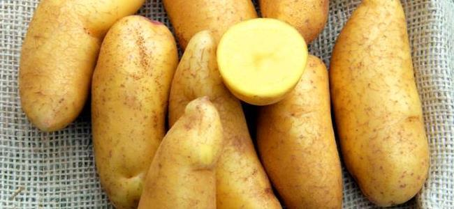 Potato variety Mayan Gold successfully released in Kenya