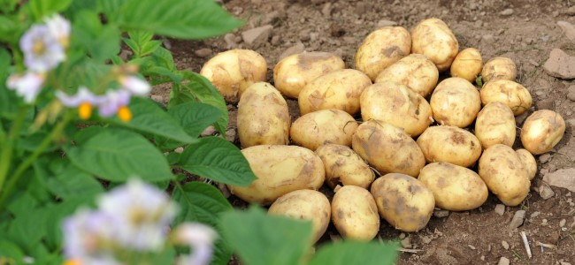 Britain's largest technical potato field event is coming up