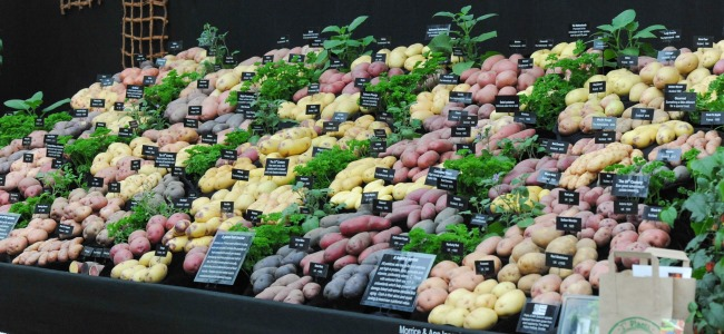 Gold for tatties at Chelsea Flower Show