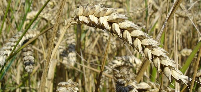 Decline in wheat yields likely due to changing climate