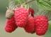 New raspberry Glen Dee shone at Fruit Logistica